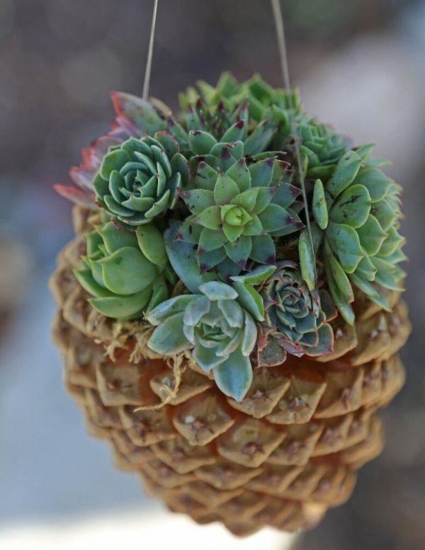 Pine Cone Succulents