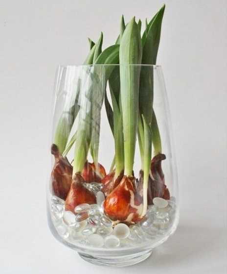 Tulips Growing in Water