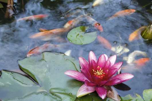Koi Fish Swimming in Water Garden